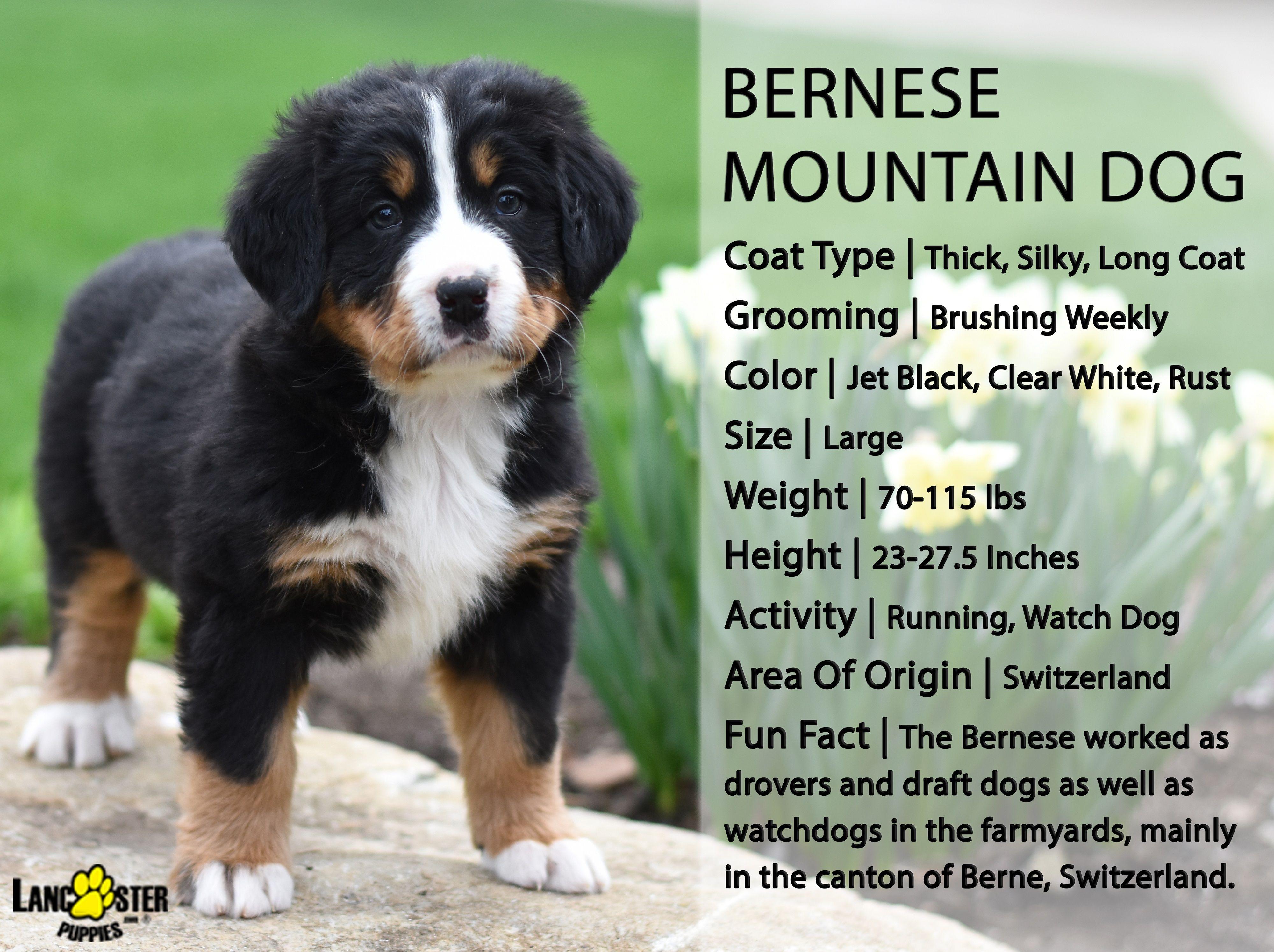 Pin On Bernese Mountain Dog Puppies