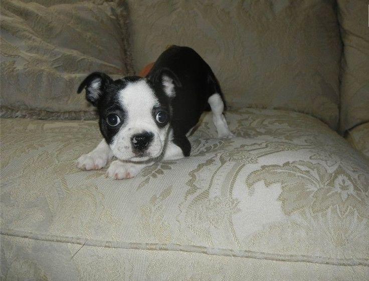 Kc Coloured Boston Terrier Puppies. Port Elizabeth