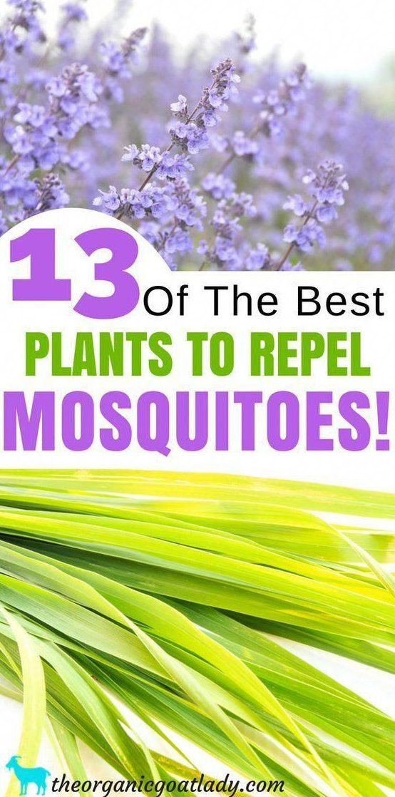 Plants That Repel Mosquitoes Natural Insect Repellent Best Mosquito Repellent