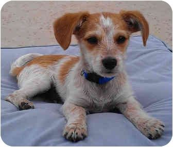 Jack Russell Terrier/Dachshund Mix Puppy for adoption in