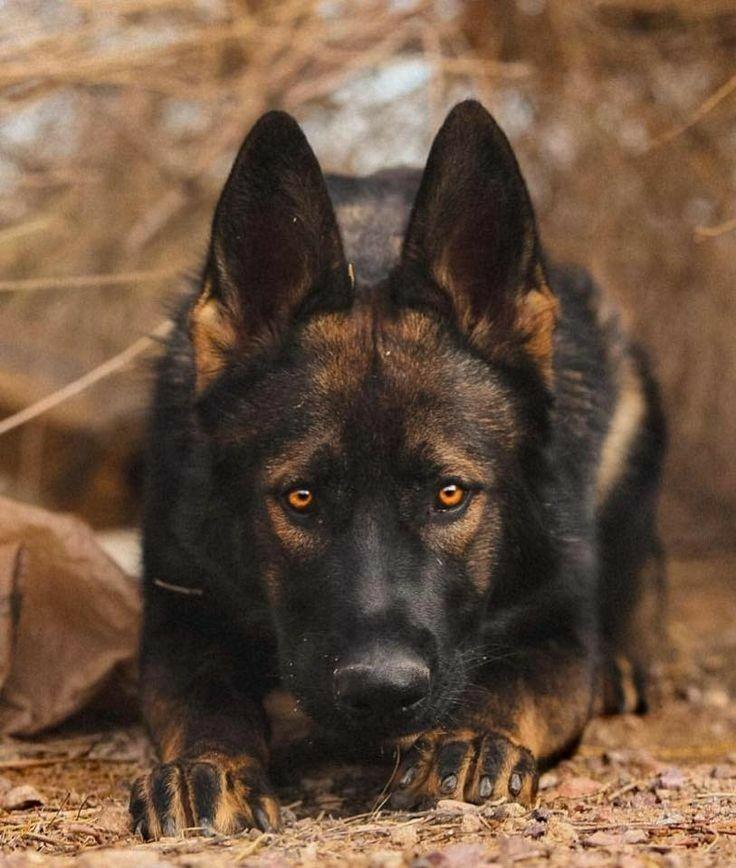 Very Beautiful Schaferhund Welpen Schaferhunde Hunde
