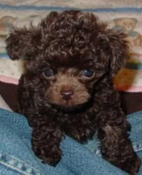 Toy Tiny Toy In Toronto Teacup Poodle Puppies Poodle Puppy Tea Cup Poodle