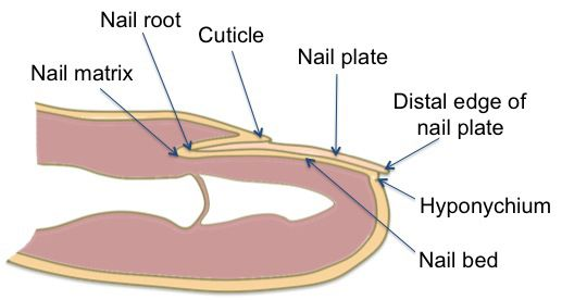 Toe Fungus Diagram Electrical Work Wiring Diagram