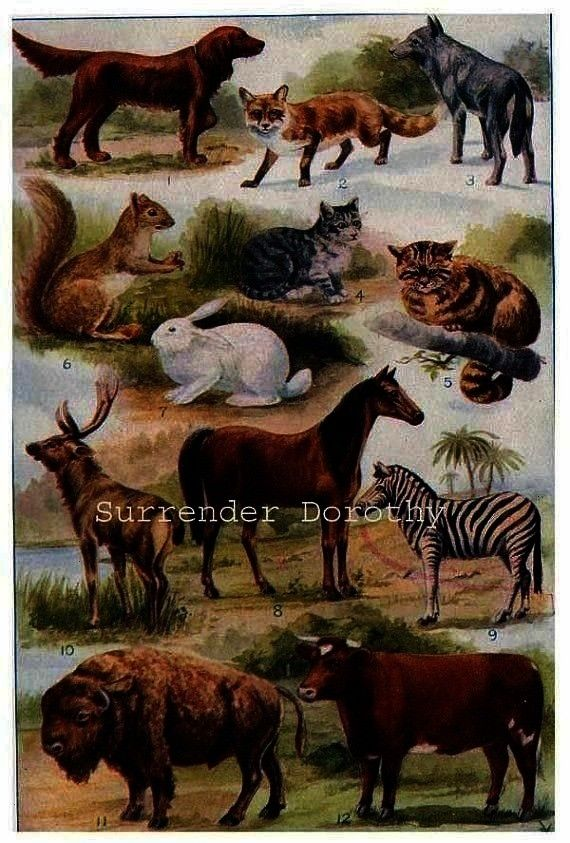 Cattle Animal Showing Order Natural History Lithograph Art 1915 Mammal Chart Cat Rodent Horse Cattle Animal Showing Order Natural History Lithograph Art 1915 Edwardian Er...