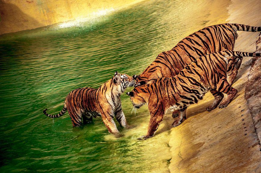 http://danielmrk.deviantart.com/art/Tigers-378142978