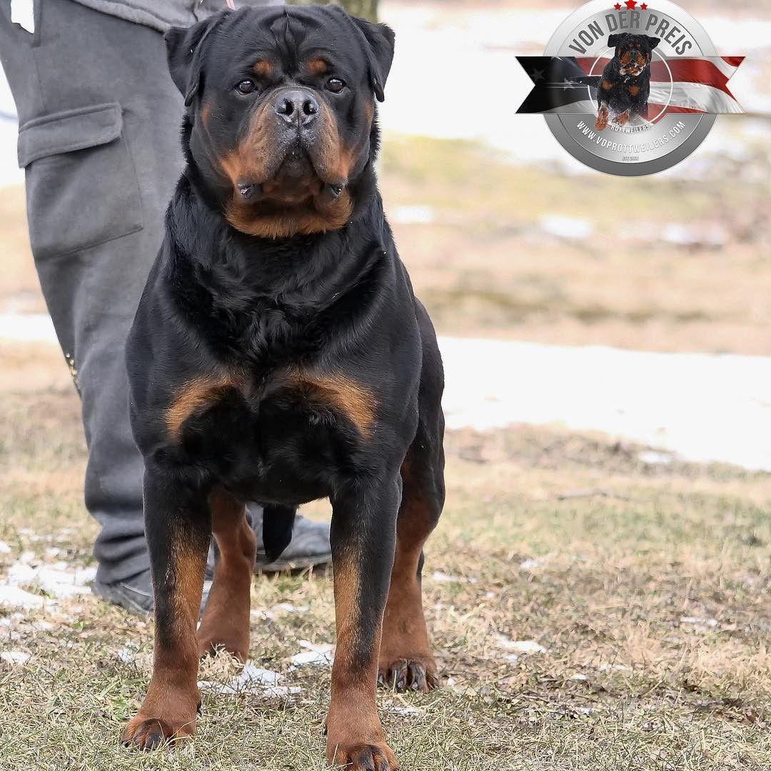 Ch Riko Vom Beni From Usa Rottweiler Rottweiler Rottweiler Dog Rottweiler Love