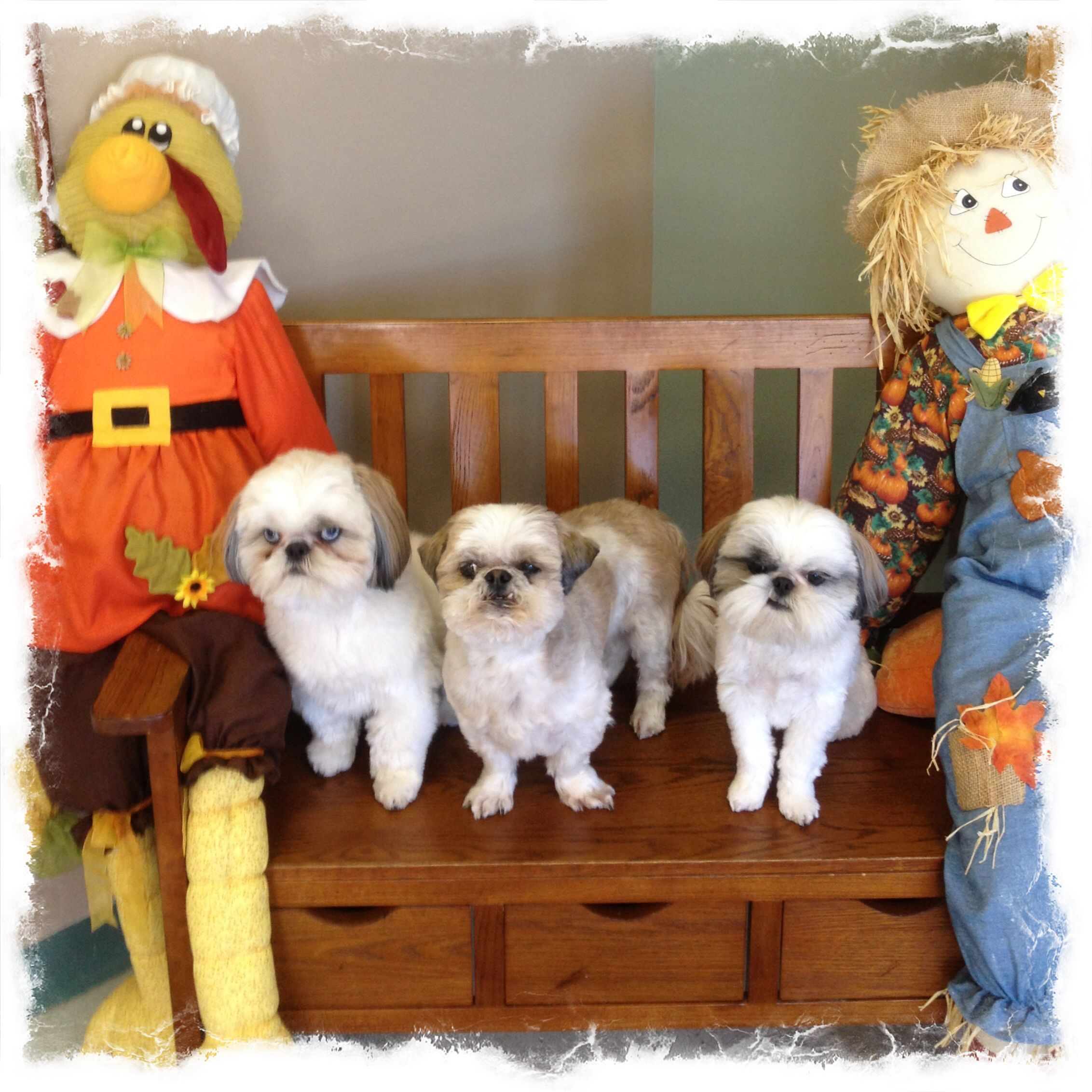 #autumnatallkreatures #shihtzu #dogboarding Bo, Murphy and Lola