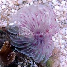 Puple White Feather Duster Worm Saltwater Fish Tanks Fish Breeding Saltwater Aquarium