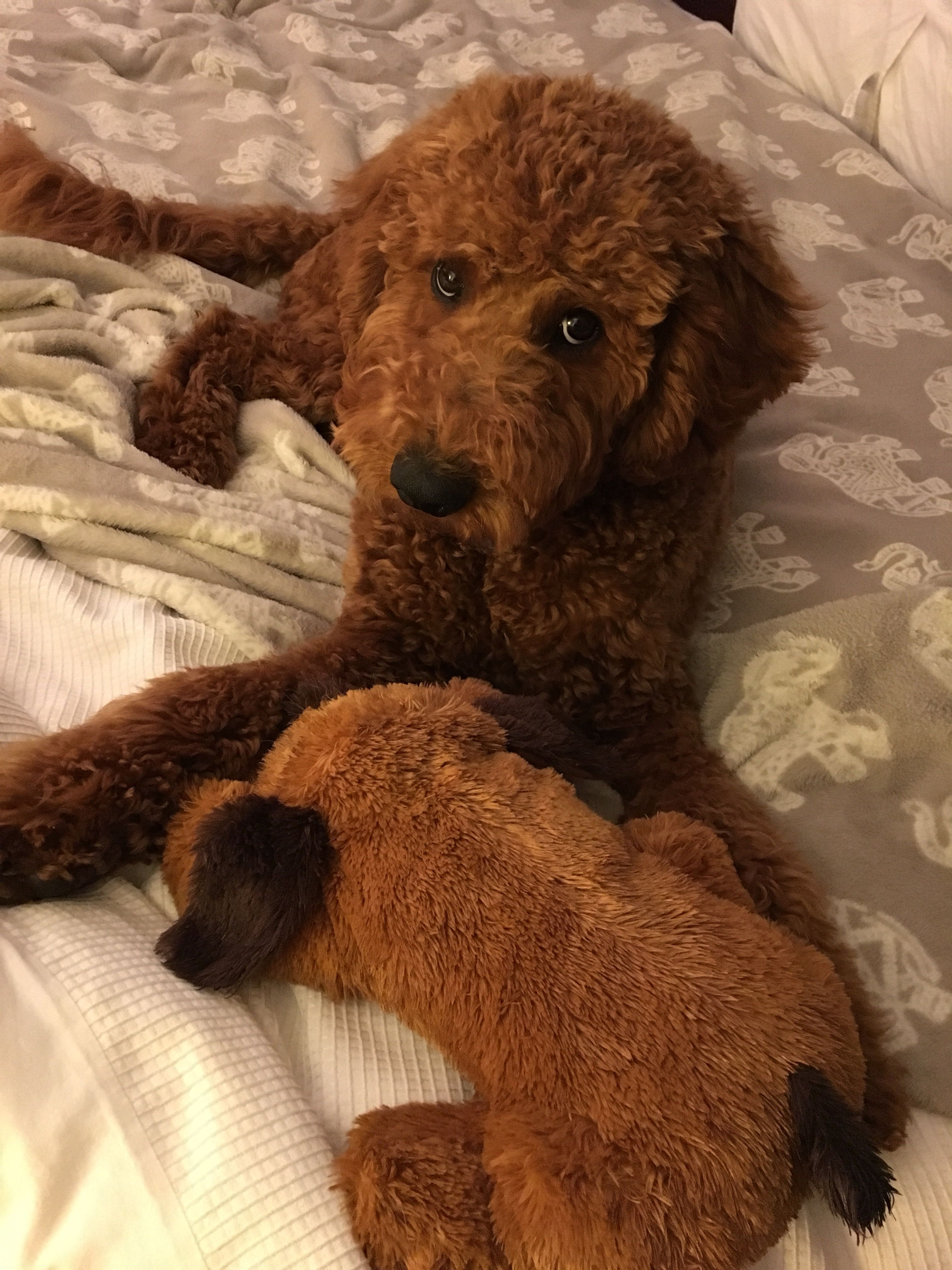 Red goldendoodle snuggles his teddy. Red goldendoodle