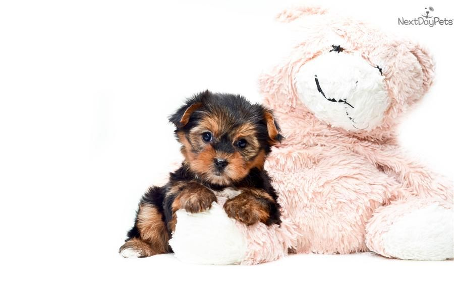 Teacup Bella Www Affordablepup Com Yorkie Puppy For Sale Yorkshire Terrier Yorkie Puppy