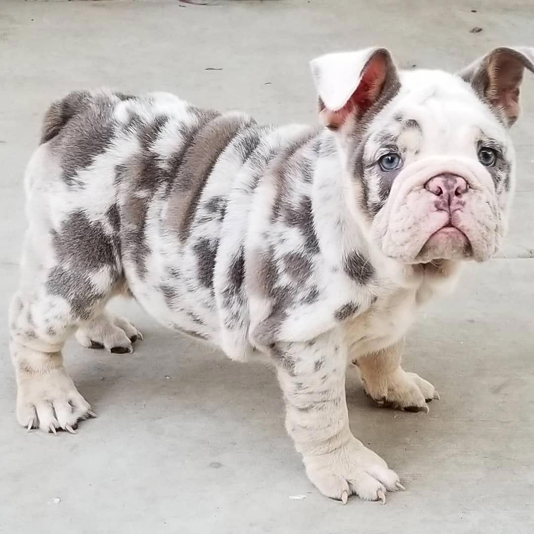 Lilac And Tan Female French Bulldog Puppy For Sale From Nw Frenchies Washington State French Bulldog Puppies Bulldog Puppies French Bulldog