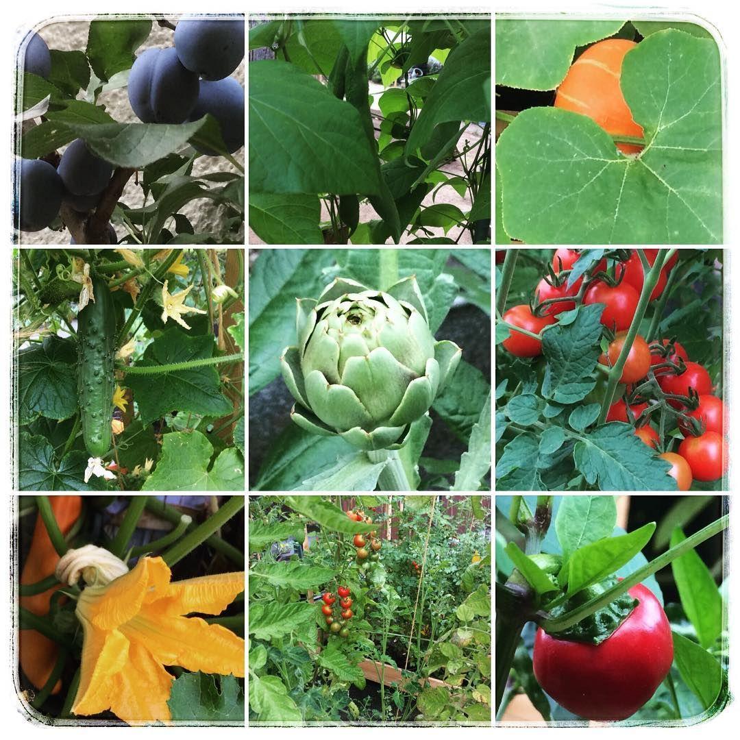 Dieses Jahr Gibt Es In Unserem Garten Und Dachgarten Richtig Viel Zu Ernten Bis Auf Einige Chilis Haben Wir Alle Alle Gem Gemuse Pflanzen Garten Dachgarten
