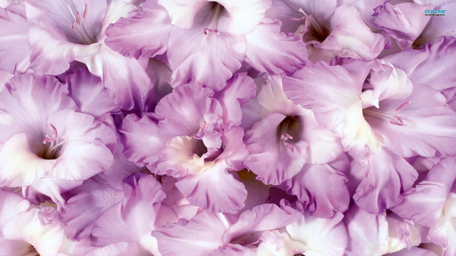 Gladiolus Wallpaper Purple Flowers Gladiolus Lily Wallpaper