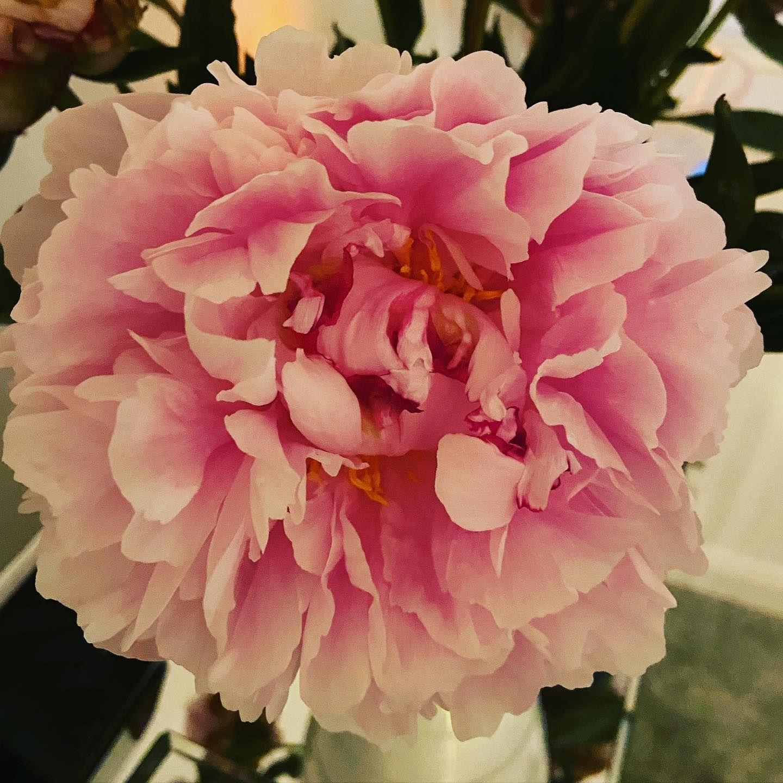 My favourite Peonies 🌸 . . . #peonies #flowers #pink #instaflowers
