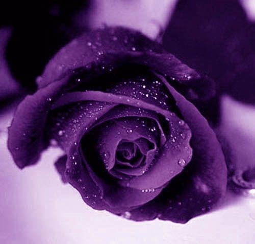 Purple Rose Wallpapers Purple Roses Purple Flowers Beautiful
