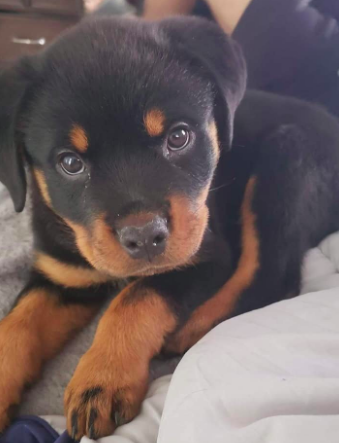 Pin On Rottweilers