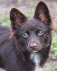 Adopt Jonesy On Pomeranian Chihuahua Mix Pomeranian Chihuahua Pomeranian Dog