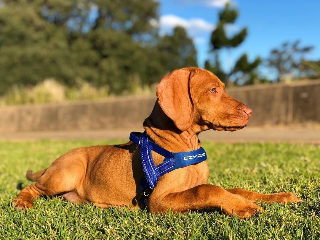 We Have The Right Dog Harness For All Ages Puppy Ezydog Quick