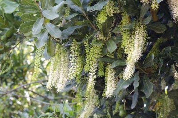 The History Of Wheelbarrows Australian Garden Macadamia Flowers