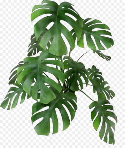 Monstera Deliciosa Png Google Search Flower Pots Swiss Cheese Plant Plant Illustration