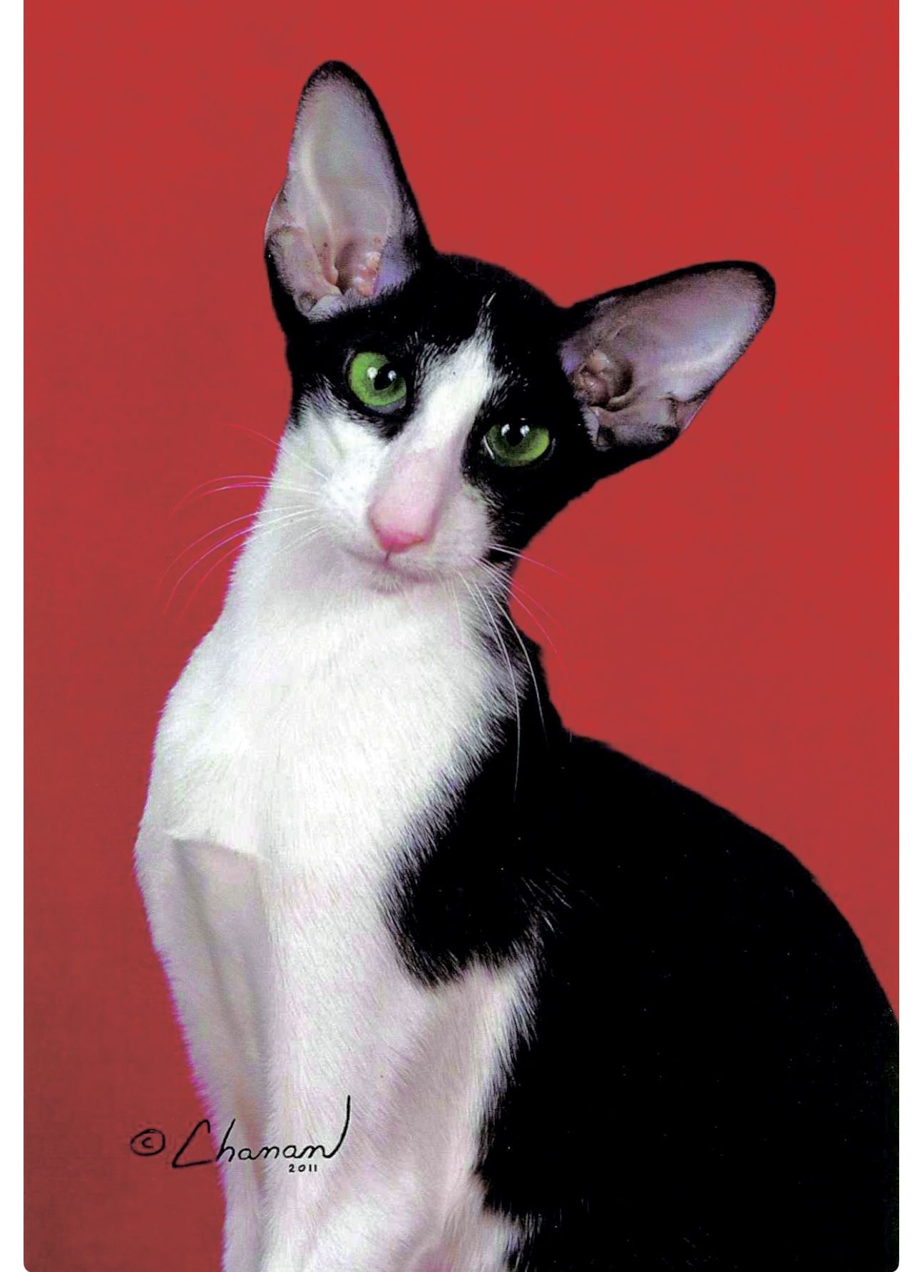 Oriental Shorthair Cat With Striking Black And White Tuxedo Markings Oriental Shorthair Cats Oriental Cat Oriental Shorthair