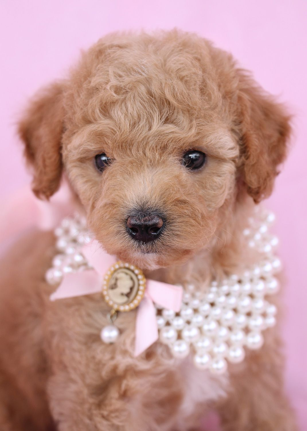 Beautiful Poodle Puppy by TeaCup Puppies Poodle puppies