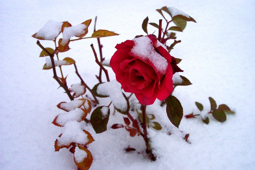 Sweet Southern Days: Another Confederate Rose