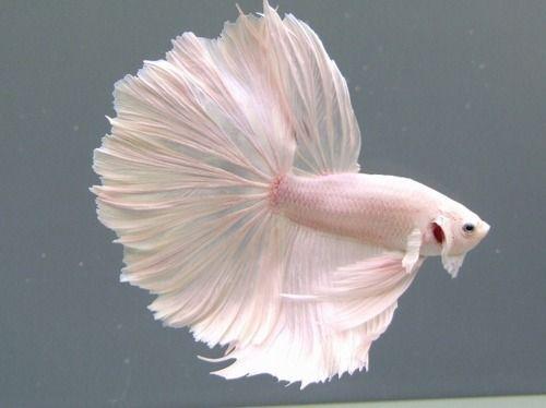 #white #beta #fish