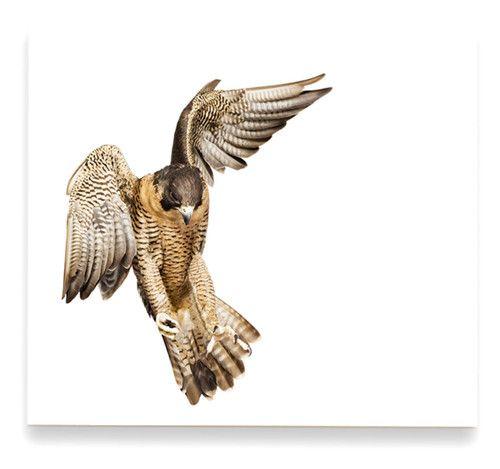 Peregrine Falcon By Andrew Zuckerman Peregrine Falcon