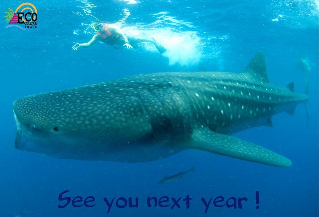 whale shark annual migrations Riviera Maya