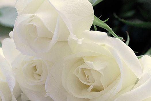 MEILLAND Rose
