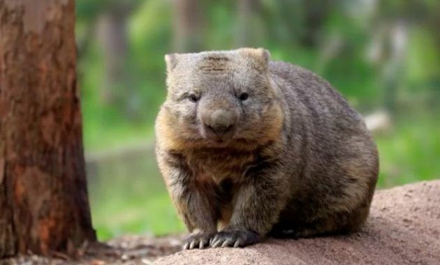 20 Fascinating Animals That Start With The Letter W In 2020 Cute Wombat Cute Animals Animals
