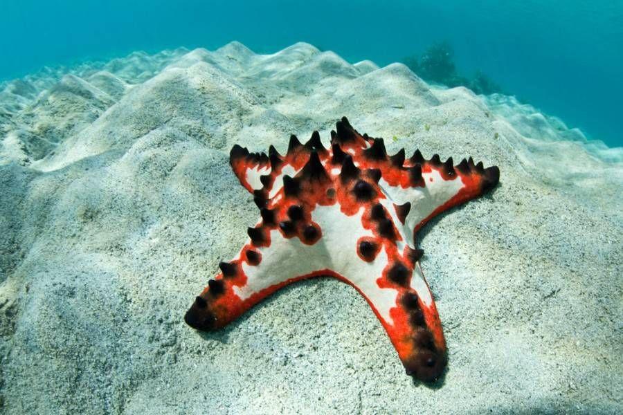 19 Bizarre And Beautiful Starfish Species Starfish Species Starfish Chocolate Chip Starfish