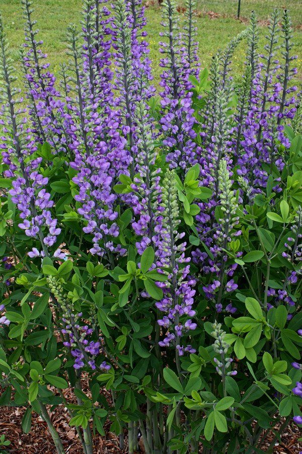 Baptisia \'Blue Towers\' PP 27,088 | Towers, Plants and Gardens