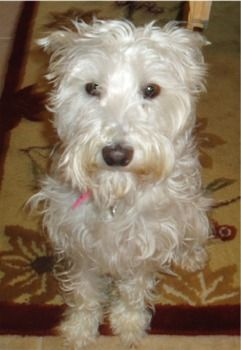 Wondering If Our 11 Week Old White Schnoodle Will Look Like This