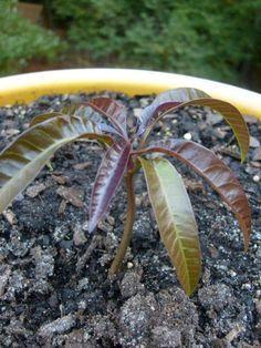 Aprende a plantar una semilla de mango...