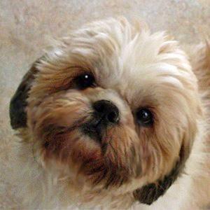 Adopt Connor On Petfinder Shih Tzu Dog Shih Tzu Animals Beautiful