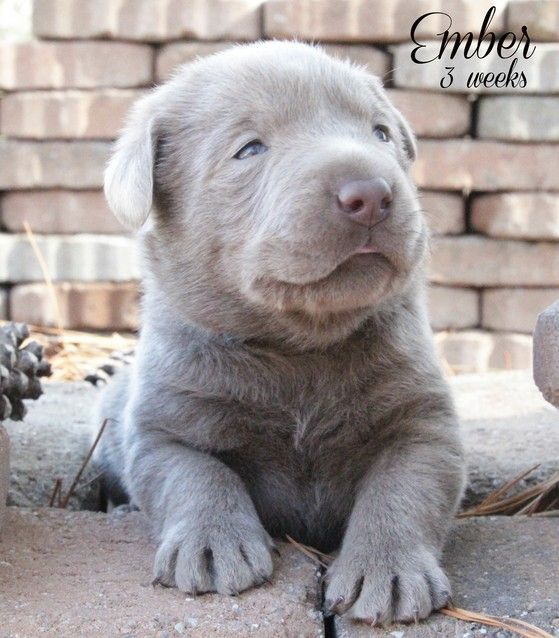 Silver Labrador Breeders Silver Lab Puppies Charcoal Lab Puppies Tennessee Lab Puppies Silver Lab Puppies Labrador Breeders