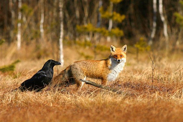 Raven and fox.