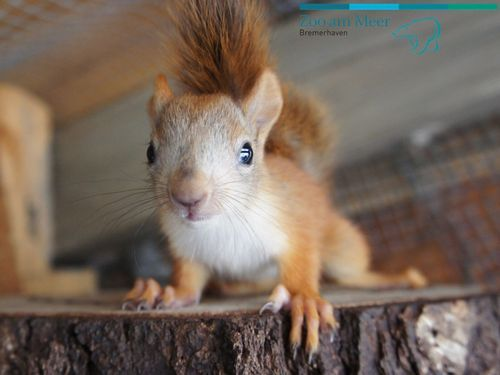 Baby Red Squirrel Did You Call Me