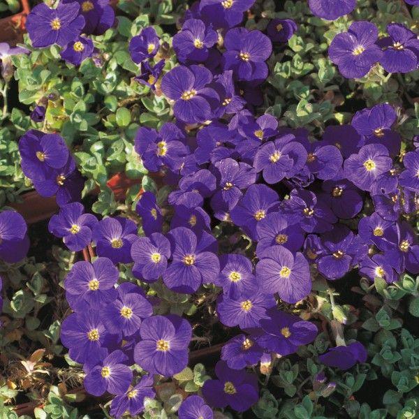 Pflanzen-Kölle Blaukissen blau, 12 cm Topf.  Unglaubliche Blütenfülle in strahlendem Blau läutet den Frühling im Garten, Steingarten oder Balkonkasten ein.