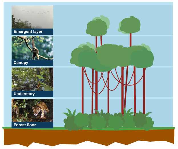 Diagram of the four layers of the rainforest forest floor