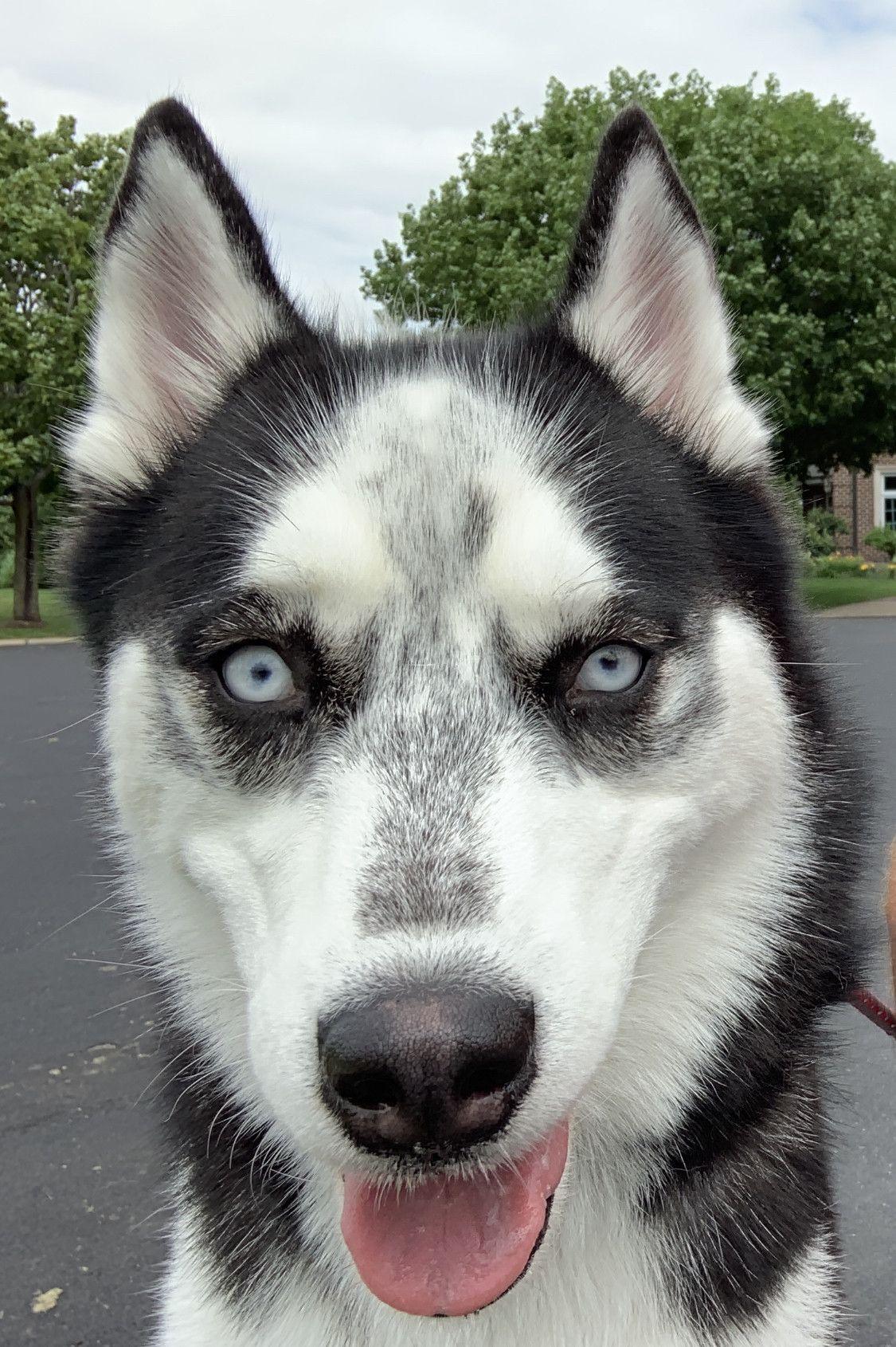 Husky Mix Breed Dogs Cute Husky Husky Pics Husky Mix