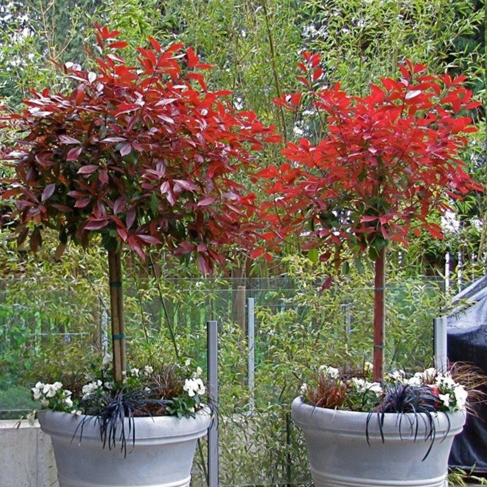 Photinia fraseri 39 little red robin 39 glansmispel my for Garden topiary trees