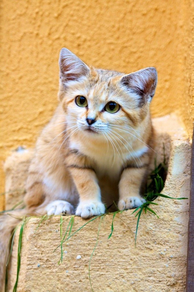 Rare cats and even rarer kittens Sand cat, Small wild