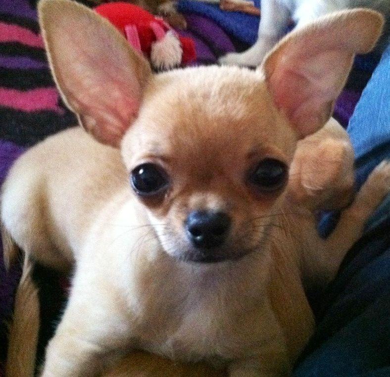 Chihuahua Image Via Www Facebook Com Cutechihuahuafan Chihuahua