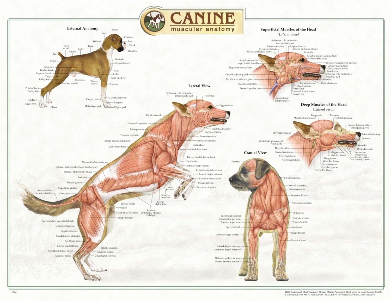 veterinary anatomy - Google Search | Dogs | Pinterest | Anatomy ...