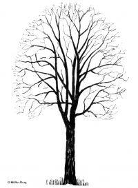 Schattenriss Von Acer Pseudoplatanus