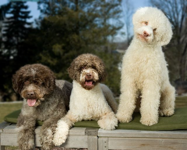 Truffle Diggers From Italy Unique Dog Breeds Lagotto Romagnolo Water Dog