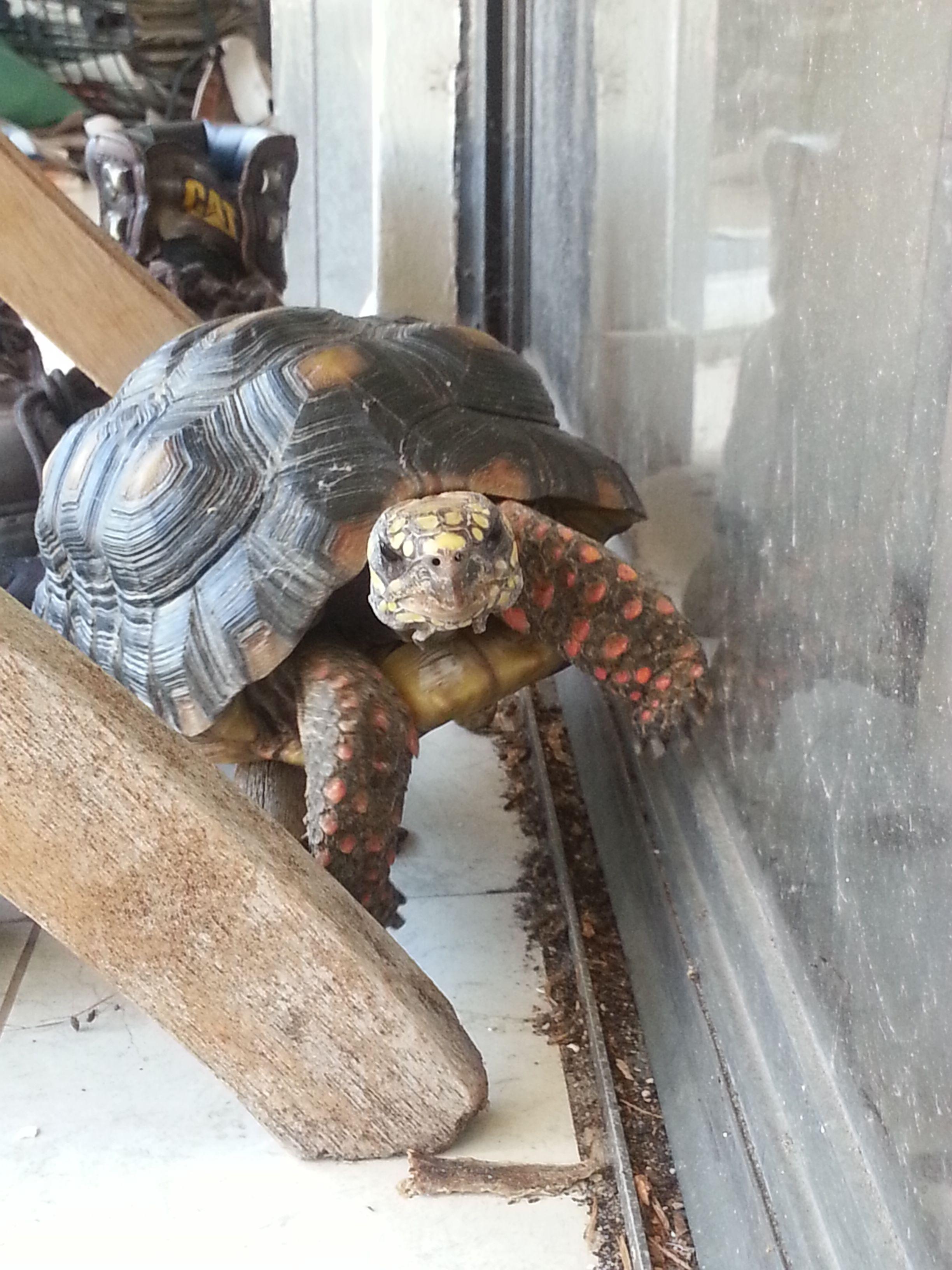 Redfoot explorer amo las tortugas pinterest turtle tortoise